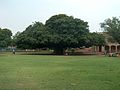 July 9 2005 - The Lahore Fort-A very old tree.jpg