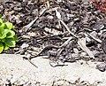 Junge Blindschleiche 3 (Anguis fragilis).jpg