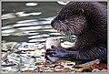 Junger Fischotter (46151325802).jpg