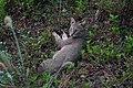Jungle cat 09498.jpg