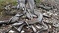 Juniperus thurifera roots.jpg