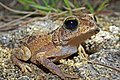 Juvenile Cuban Spotted Toad (Peltophryne taladai) (8573971833).jpg