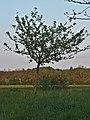 Kühkopf-Knoblochsaue Baumanns Renette Tree.jpg