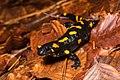 K.Kalaentzis - Salamandra salamandra.jpg