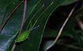 Katydid Nymph (Tettigoniidae) (8677313229).jpg