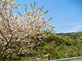 Kawauchi, Miyako, Iwate Prefecture 028-2513, Japan - panoramio (1).jpg