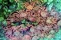 King crabs underwater.jpg