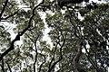 Kirstenbosch National Botanical Garden - Cinnamomum camphora01.jpg