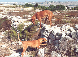 Pharaoh Hound - Hunting in a rubble stone wall in Malta. The dogs are indicating; enabling the hunter to put a ferret there