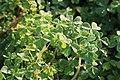 Kluse - Oxalis tuberosa 07 ies.jpg