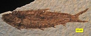 Knightia - Knightia eocaena from the Green River Formation (Eocene) of Wyoming