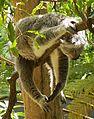 Koala II (13968479073).jpg