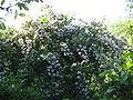 Kolkwitzia amabilis01.jpg