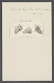 Kolpoda triquetra - - Print - Iconographia Zoologica - Special Collections University of Amsterdam - UBAINV0274 113 14 0010.tif