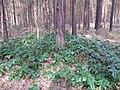 Korina 2013-03-18 Mahonia aquifolium 4.jpg