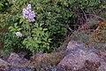 Korina 2017-05-07 Syringa vulgaris 4.jpg