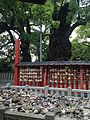 Koyasu Stones and Kinukake no Mori Camphor Tree in Umi Hachiman Shrine.jpg