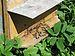 Krolewo Bienen Bees 1.jpg