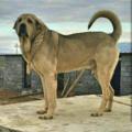 Kurd Mastiff (Pshdar).png