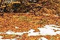 Kvetoucí sněženky v PP Sněženky ve Vysokém lese 07.jpg