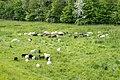Lügde - 2015-05-24 - LIP-021 Emmertal (Schafe am Eschenbach) (3).jpg