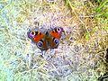 LSG0025QLB (Bode-Selke-Aue) Wedderstedt Schmetterling Tagpfauenauge.JPG