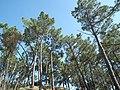 La forêt de Suzac - panoramio.jpg