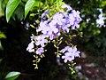 Lace Golden Dewdrops 蕾絲金露花 - panoramio.jpg