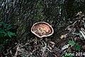 Laetiporus persicinus 9133392.jpg