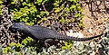 Lagarto (Cordylus niger), cabo de Buena Esparanza, Sudáfrica, 2018-07-23, DD 82.jpg