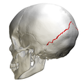 Lambdoid suture - skull - lateral view03.png