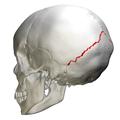 Lambdoid suture - skull - lateral view03.png