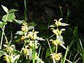 Lamier jaune (Lamium galeobdolon) - Forêt de Mervent-Vouvant.jpg