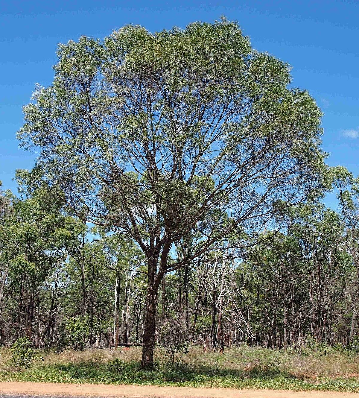 acacia shirleyi