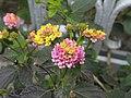 Lantana flowers (3309778140).jpg