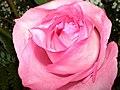 Large Pink Rose (2801903701).jpg