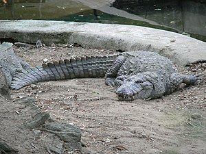 Mugger crocodile - Adult male mugger crocodile