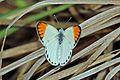 Large orange tip (Colotis antevippe antevippe) male 2.jpg