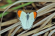 Large orange tip (Colotis antevippe antevippe) male 2.jpg