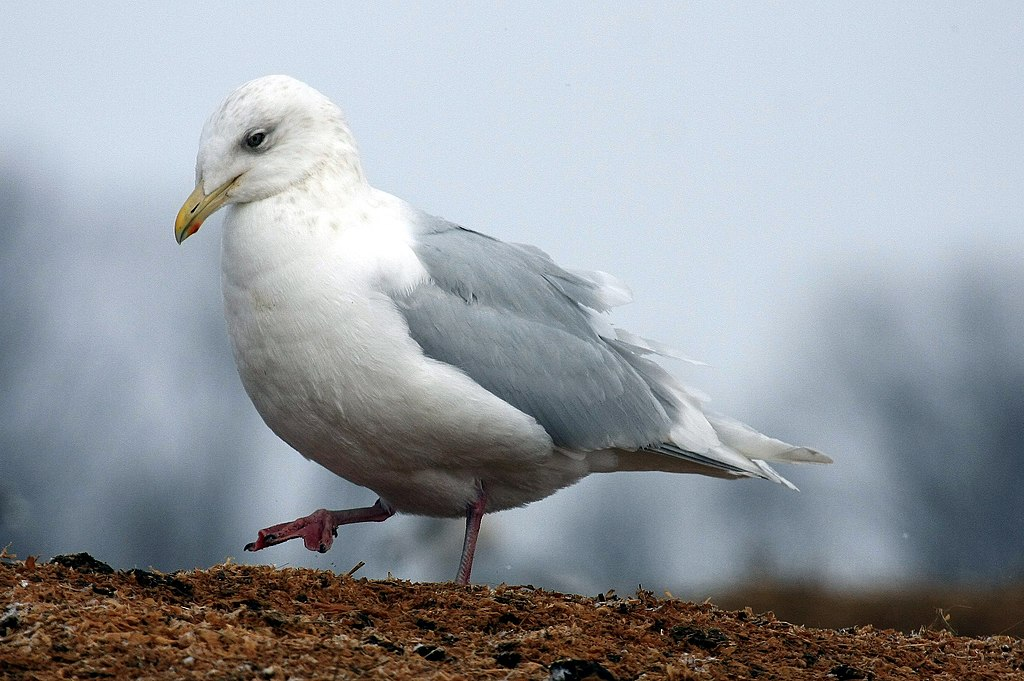 Larus glaucoides IthacaNY