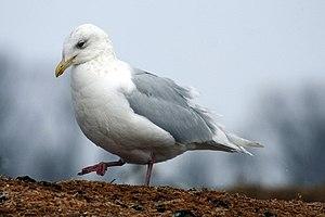 Iceland gull - Adult, Ithaca, NY