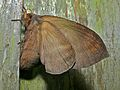 Lasiocampid Moth (Kunugia latipennis) female laying eggs (7846424892).jpg