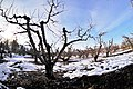 Late winter cherry orchard in East Wenatchee Washington.jpg
