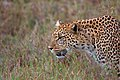 Leopard (4411365092).jpg