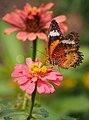 Leopard Lacewing (8544612606).jpg