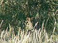 Leopard summer.jpg