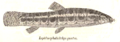 LepidocephalichthysGuntea.png