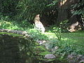 Leptailurus serval in Zoo Krefeld.JPG
