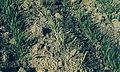 Les Plantes Cultivades. Cereals. Imatge 218.jpg