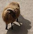 Les moutons de la Ferme des Enfants à Pairi Daiza.jpg